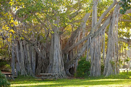 giant Ficus lofty fig at Hugh Taylor Birch State Park in Fort Lauderdale, Brower County, Florida, USA