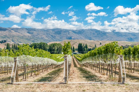 Vineyard in Gibbston Valley, New Zealand. Central Otago is the southernmost wine region in the world and mostly famous for its Pinot Noirs and white w