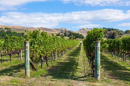 new zealand Hawkes bay new zealand bunches of grapes on vines in rows in a vineyard in Hawkes bay Napier New zealand North island NZ