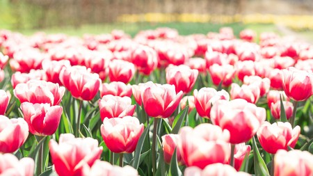 Amsterdam is full of picturesque parks scattered with flora and fauna, including lots and lots of tulips