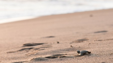 Visitors can watch wild turtles being released into the ocean in Monterrico, Guatemala.