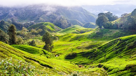 Drink in the cool climate and undulating hills and tea plantations of the Cameron highlands in Malaysia