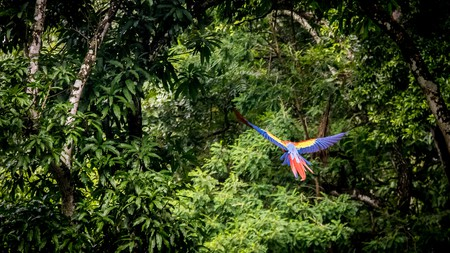 Scarlet macaws fly through Copan, where the ruins of a long-abandoned Mayan city are one of the biggest attractions in Honduras