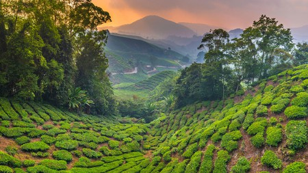 A tea plantation up in the Cameron Highlands in Pahang, Malaysia.