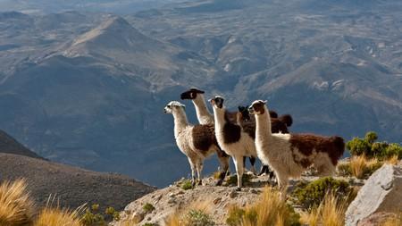 Llamas patrol the high Andes near Colca Canyon, Peru
