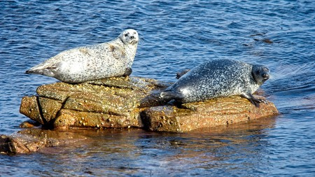 On the island of Shetland you might even catch a glimpse of seals sunbathing on rocks