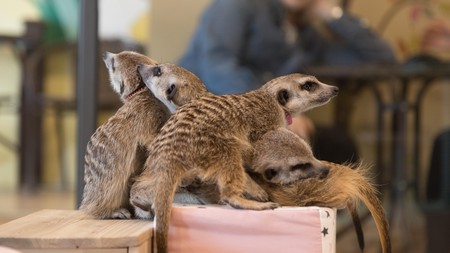 Meet up with some friendly meerkats at a pet cafe in Seoul, Korea
