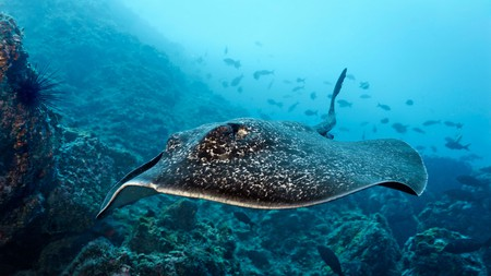 Isla del Coco is home to an incredible array of marine life, including stingrays