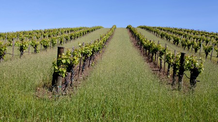 Walk alongside grapevines at Truchard Vineyard in Napa Valley