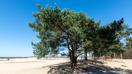 Walking trails in Dutch national park Loonse en Drunense duinen with yellow sandy dunes