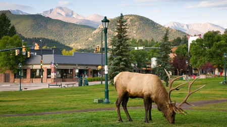 Wander in the company of elk in Estes Park, gateway to the Rocky Mountain National Park, Colorado