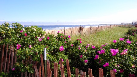 Take a stroll among the flowering beach plums at Old Orchard beach.