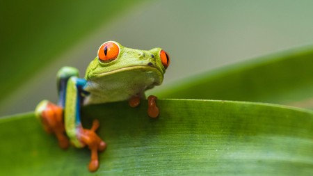 The red-eyed tree frog is just one of several amazing creatures you can see in Costa Rica