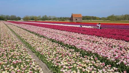Noordwijkerhout, betweenLeidenandHaarlem,is famed for its tulip fields