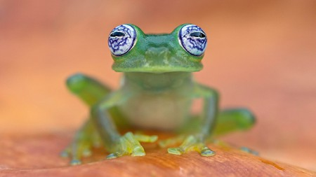 You'll be lucky to spot a glass frog in Costa Rica thanks to their highly effective camouflage