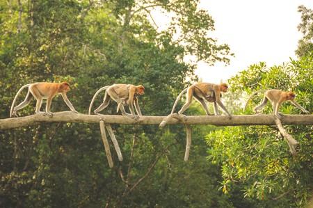 The Labuk Bay monkey sanctuary in Borneo