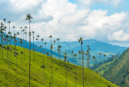 The wax palms in Cocora Valley are some of the tallest on the planet
