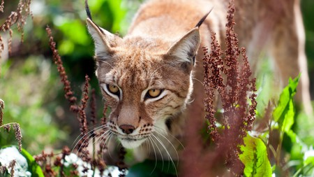 The Eurasian Lynx is among the star attractions at Wingham Wildlife Park