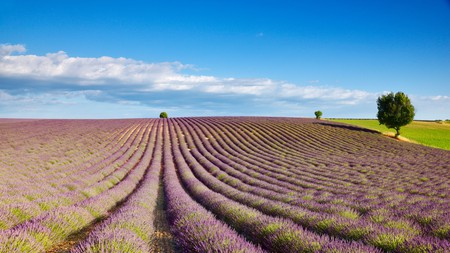 Provence is known worldwide for its lavender-covered fields