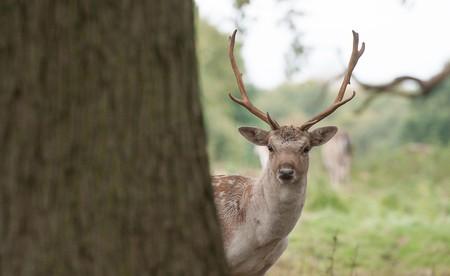 The sprawling Attingham Park estate is home to a deer park