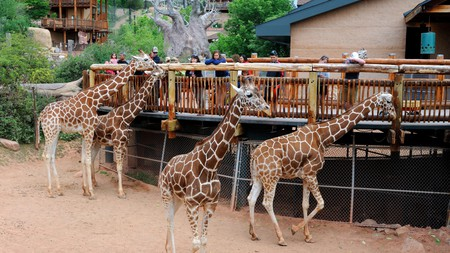 Cheyenne Mountain Zoo, Colorado, is known for its large giraffe herd