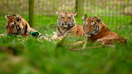 See majestic tigers at Whipsnade Zoo