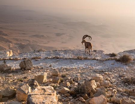 Mountain Goat overlooks the Ramon crater, Israel