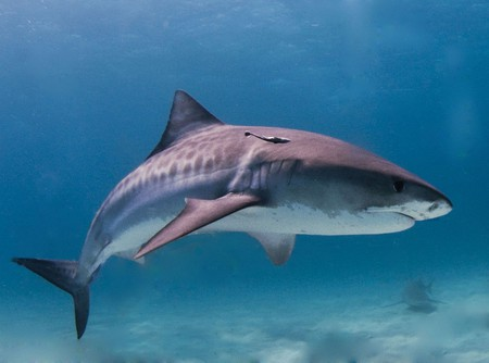Tiger shark   © Albert kok / WikiCommons