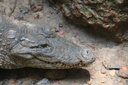 Crocodile in Goa   © Vivek Dalal / Wikimedia Commons