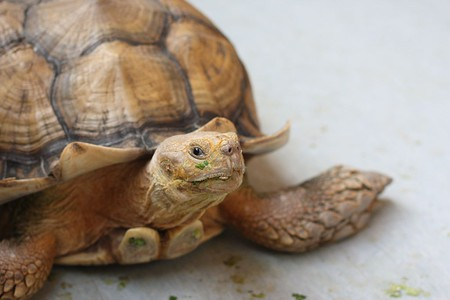The African Spurred Tortoise, The Live Turtle & Tortoise Museum, Chinese Garden, Singapore