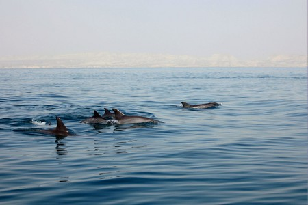 Dolphins come to play in the morning in the Persian Gulf