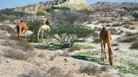 Camels are seen all throughout Qeshm Island