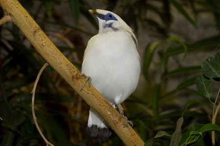 The white Bali Starling at West Bali National Park
