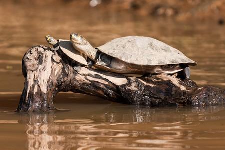Turtles in Rurrenabaque, Bolivia