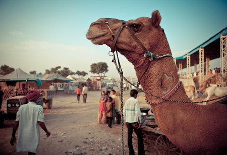 A camel for sale during the Pushkar Mela in Rajasthan
