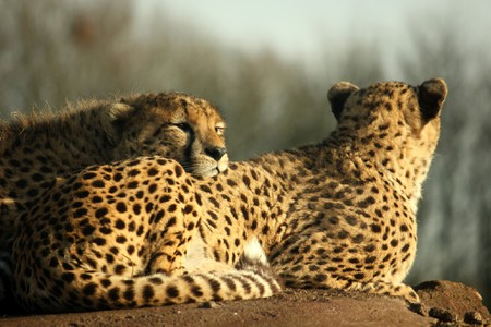 Did You Know the Persian Cheetah Is Racing Towards Extinction?