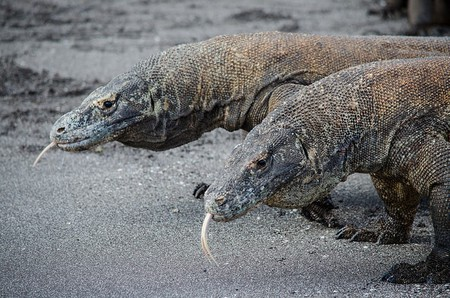 11 Facts About The Komodo Dragon, Indonesia's National Animal