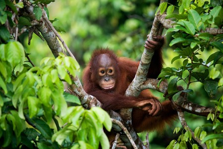 A baby orangutan clings to a tree in Borneo