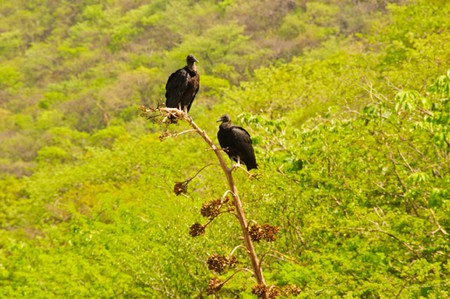 Vultures often hang out around the Sumidero Canyon