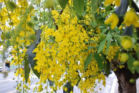 Ratchaphruek: 11 Facts About Thailand's National Flower