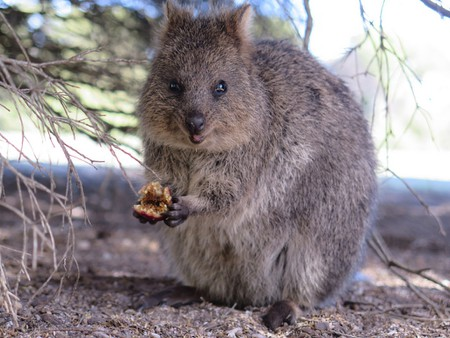 Quokka: 11 Facts About Australia's Cutest Animal