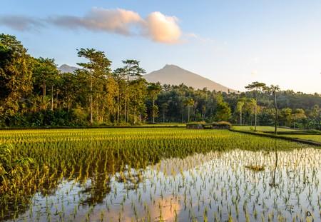 Rice Terraces at sunrise in Tetebatu, Lombok