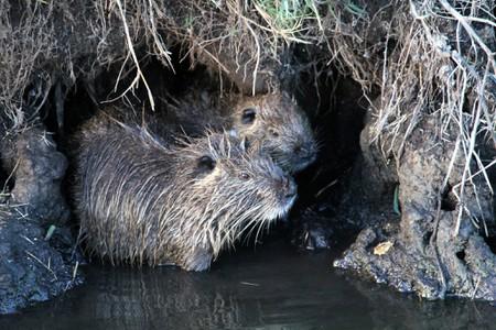 Two coypu sheltering along a riverbank