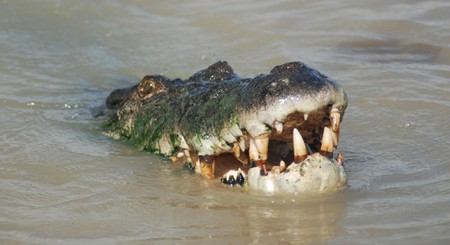 A smiling saltwater crocodile on the Adelaide River