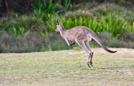 Kangaroo on Pebbly Beach © Kyle Taylor / Flickr