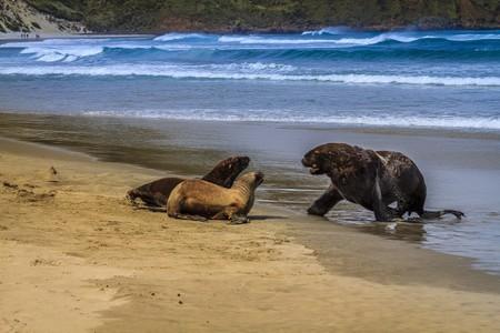 New Zealand sea lions on Sandfly Bay beach