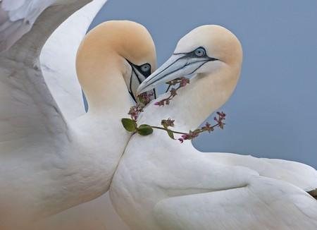 Two northern gannets embrace on Bempton Cliffs, East Yorkshire, England in Steve Race's 'True Love'
