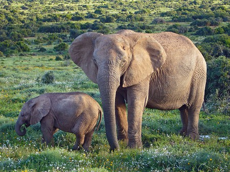 1024px-African_Bush_Elephants