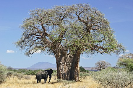 1024px-Baobab_and_elephant,_Tanzania