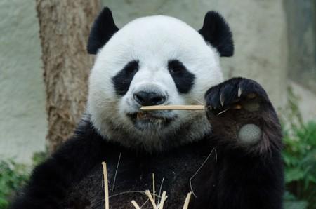 Panda at Chiang Mai Zoo